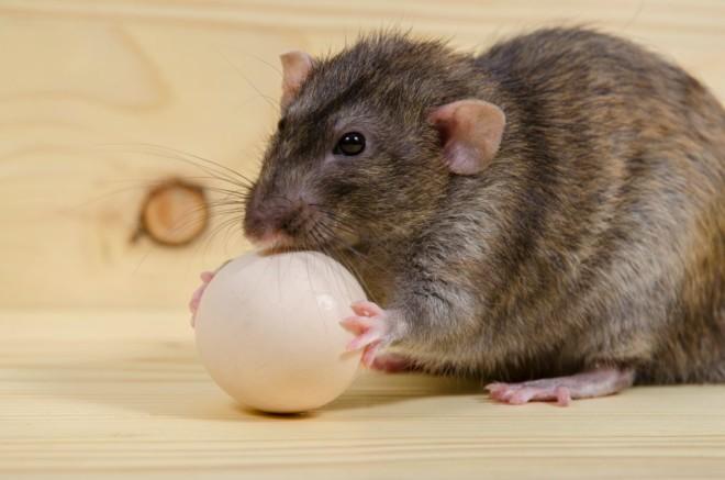 Крыса кушает яйцо