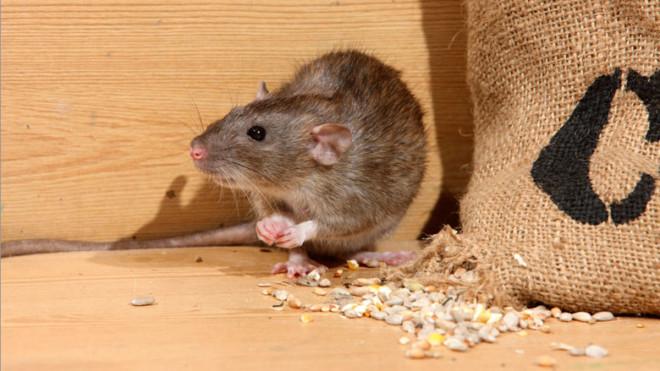 Крыса на фото