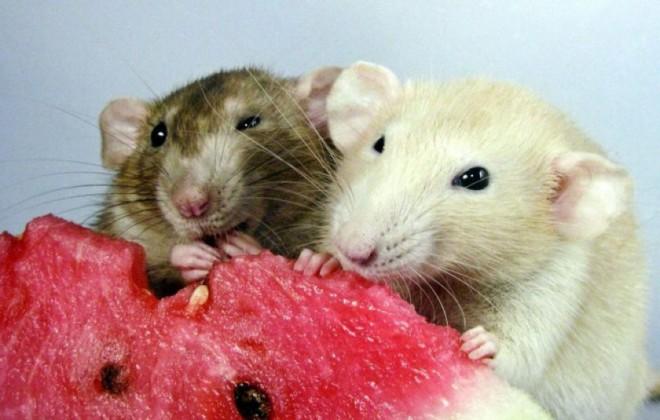 Крысы едят арбуз