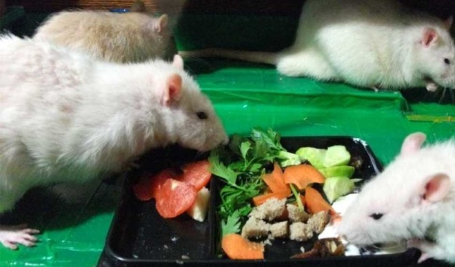 Крысы кушают