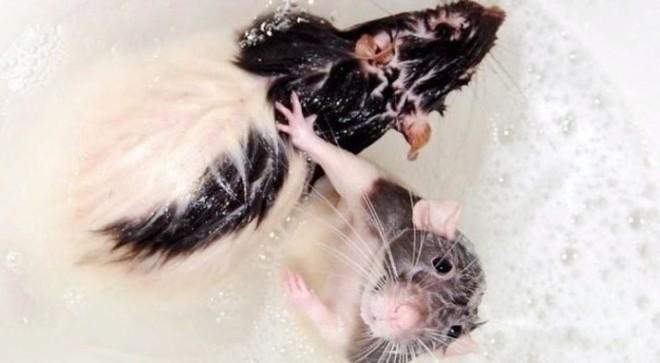 Крысы моються