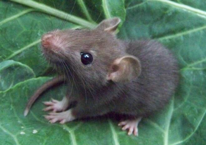 Маленькая крыса