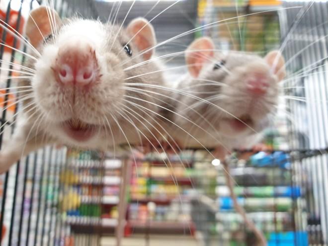 Крысиные морды