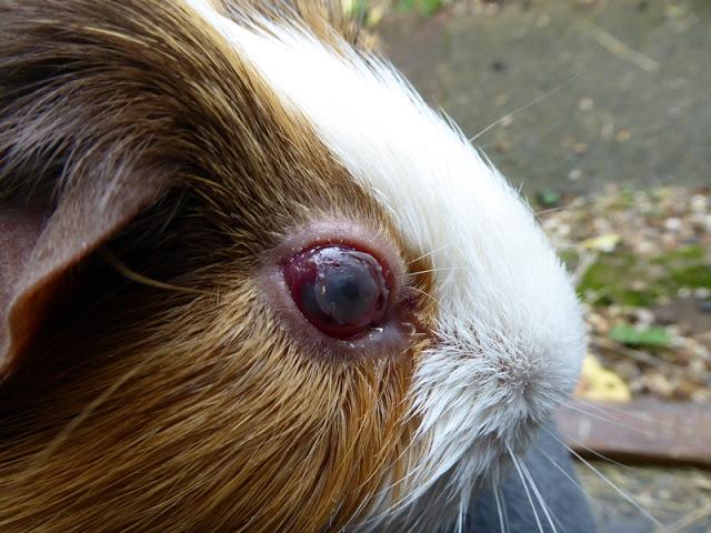 Морская свинка болезнь глаз