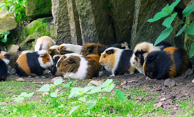 Морские свинки на фото