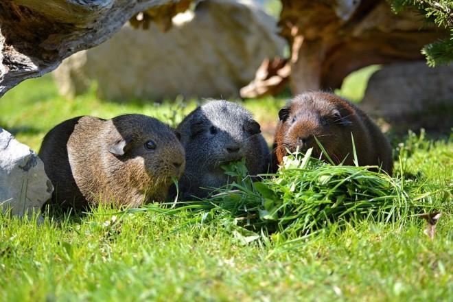 Морские свинки на траве