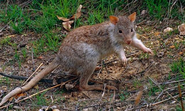 Потора крыса