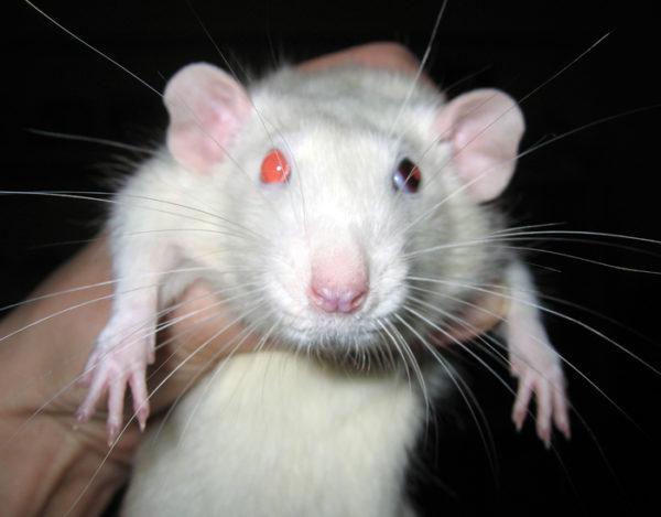 Разноглазая крыса