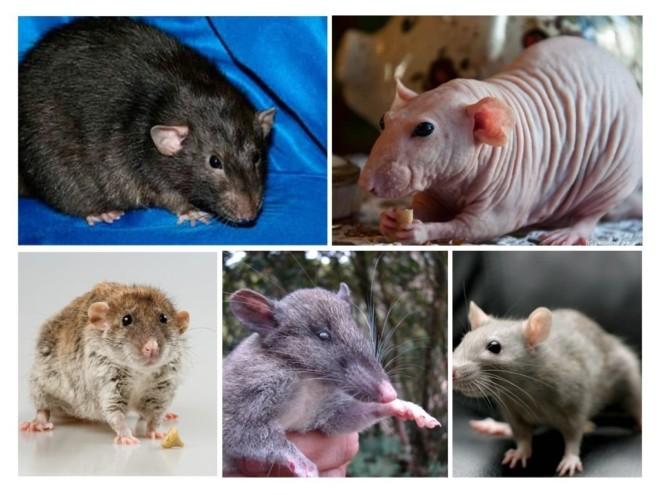 Разные породы крыс на фото