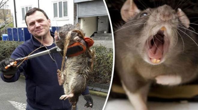Самые большие городские крысы