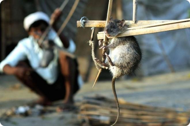 Убивать крыс