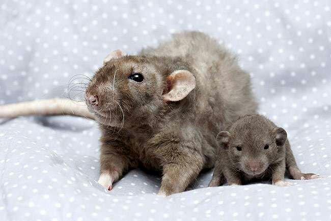 Волнистые крысы