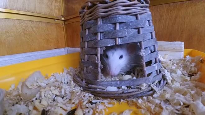 Жилище крысы