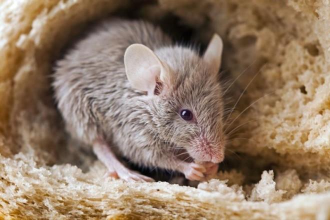 Чего боятся крысы