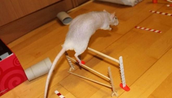 Дрессировка крысы
