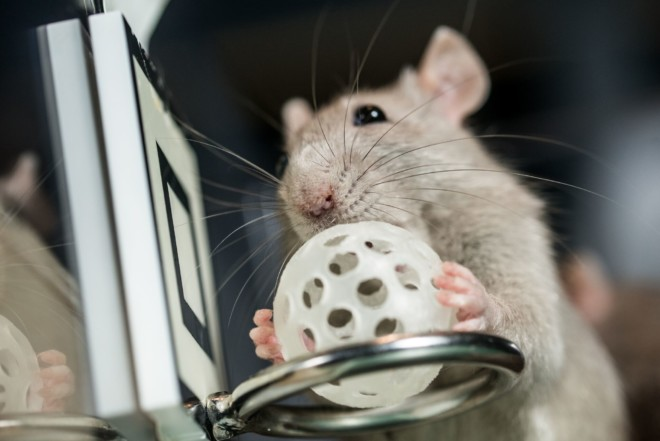 Как дрессировать крысу
