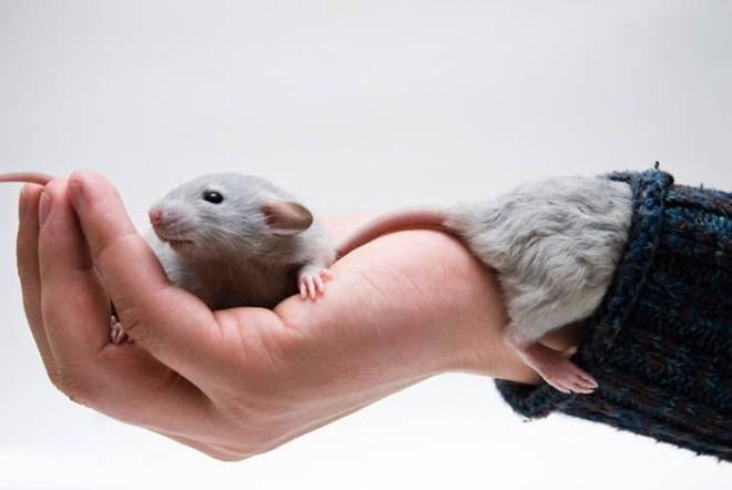 Как приучить крысу