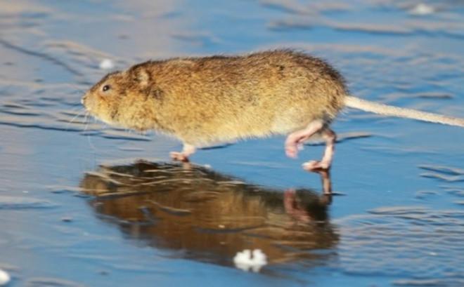 Крыс на льду