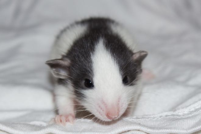 Крыса Хаски малыш