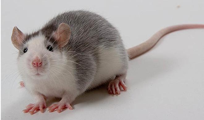 Крыса Хаски на фото