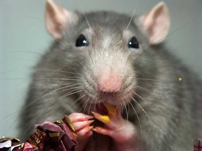 Крыса и конфета
