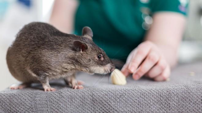 Крыса и лакомство