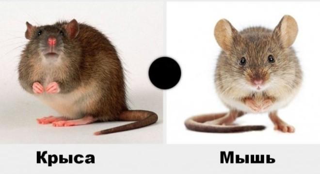 Крыса и мышь на фото