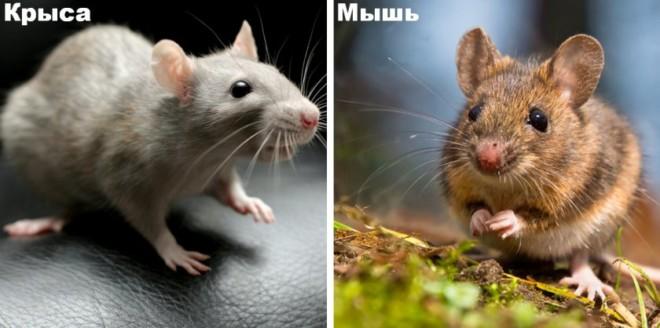Крыса и мышка
