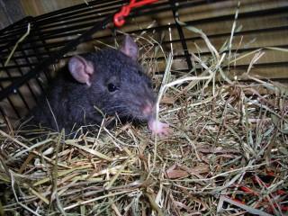 Крыса и сено