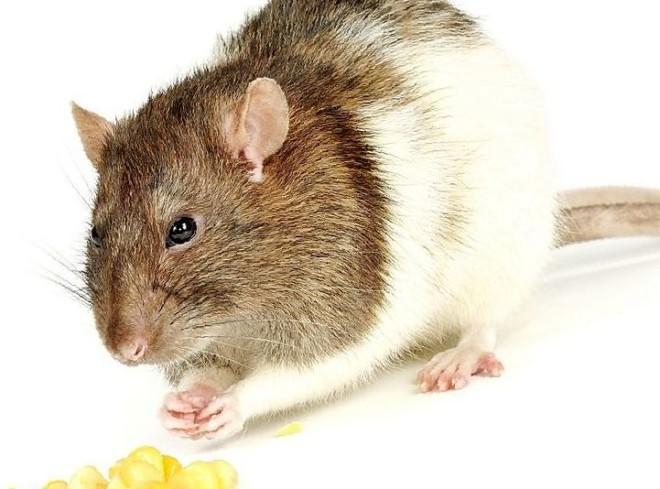 Крыса и зерно