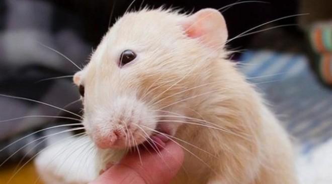Крыса кусает за палец