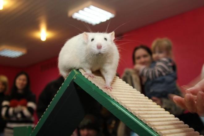 Крыса обучается