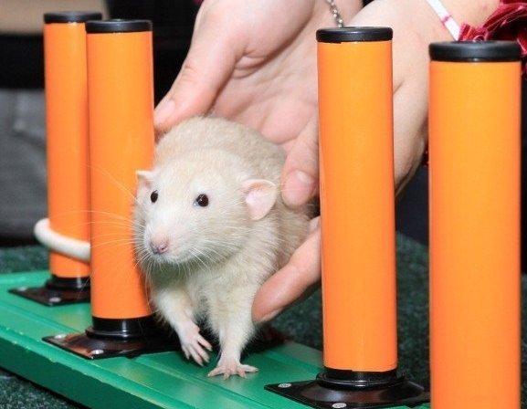 Крыса учиться
