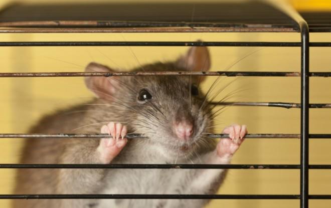 Крыса в клетке кусает прутья