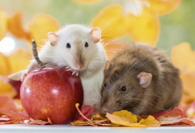 Крысы и яблоко
