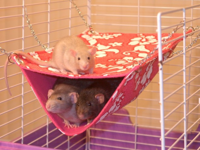 Крысы в гамаке на фото