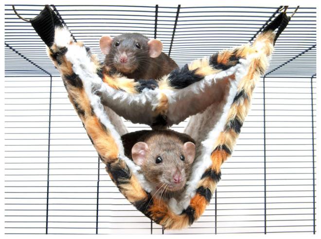 Крысы в гамаке