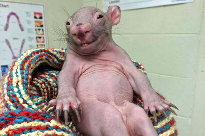 Лысая крыса сидит