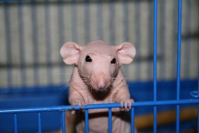 Лысая крыса в клетке