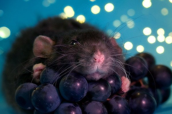 Можно ли крысам виноград