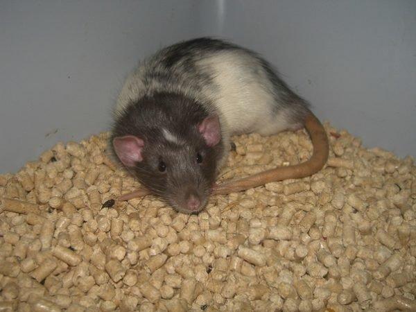 Наполнитель и крыса