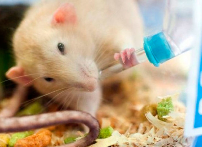 Пойлка для крысы