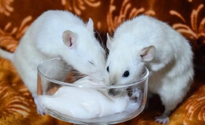 Сметана и крыса
