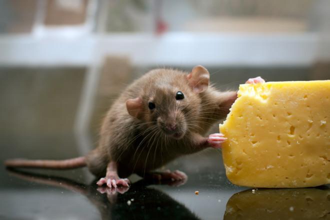 Сыр и крыса