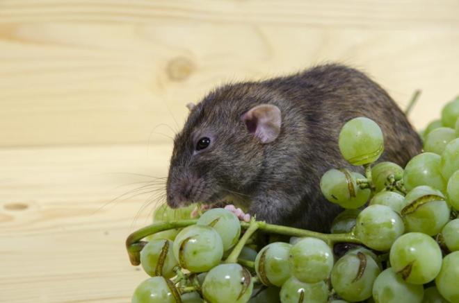Виноград и крыса