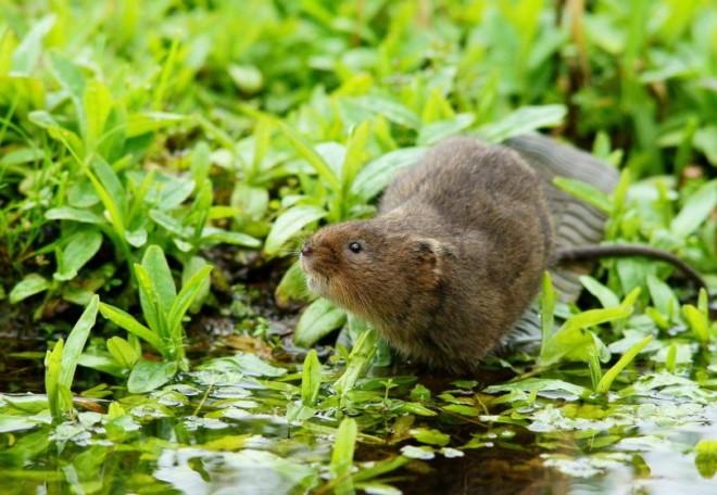 Водяная крыса на фото