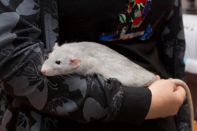 Крыса на руке