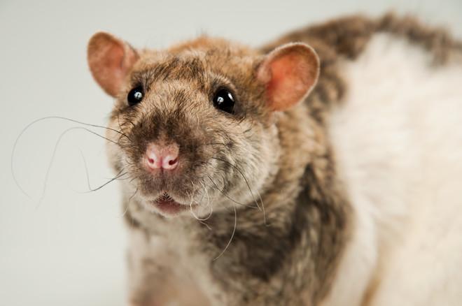 Кудрявые крысы