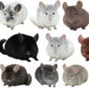 Окрасы шиншилл — виды домашних грызунов. Все породы и окрасы шиншилл с фото и названиями
