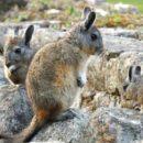 Шиншиллы в природе  — родина, места обитания, история образ жизни и рацион питания животного